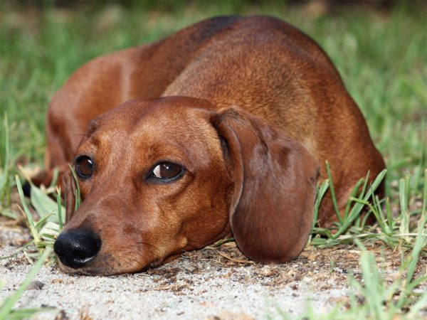 Parassiti intestinali nel cane