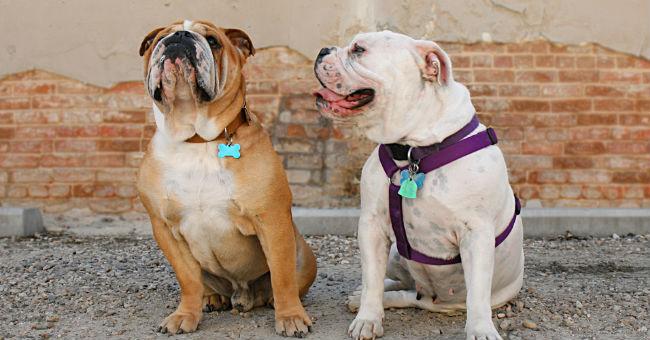 Collare o pettorina per il cane