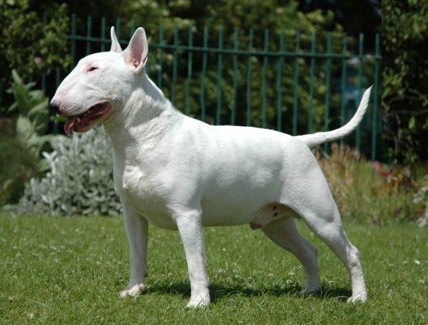 E Cattivo Il Bull Terrier Bull Terrier inglese: ...