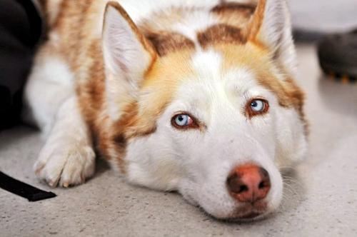 Gli occhi del cane lacrimano