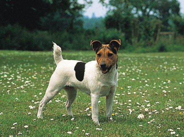 Australian Jack Russell Terrier
