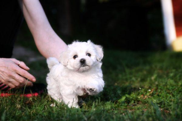 Cani da compagnia quindici razze ideali per vivere in