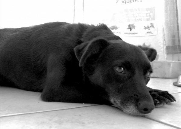 Tumori testicolari del cane