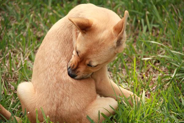 Il cane ha le pulci