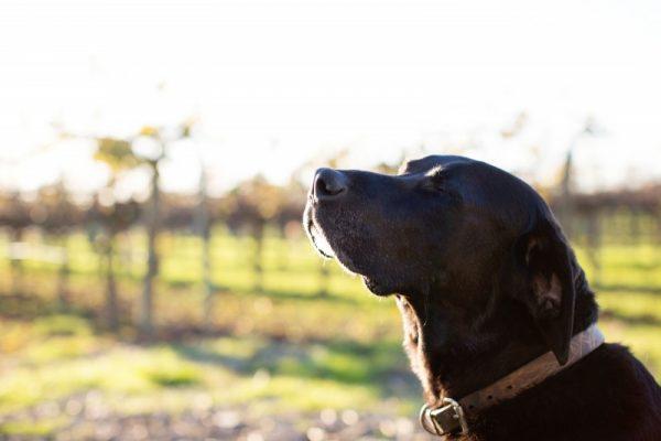Sesto senso dei cani