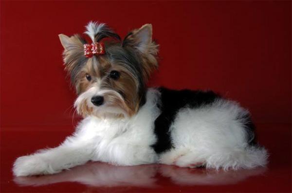 Biewer Terrier3