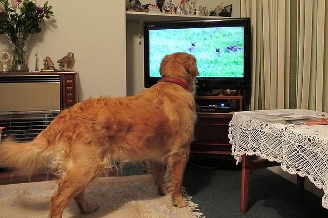 cani guardano la televisione