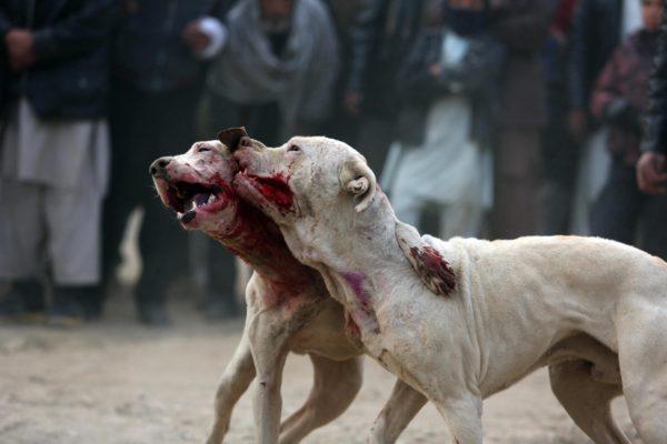 combattimenti cani