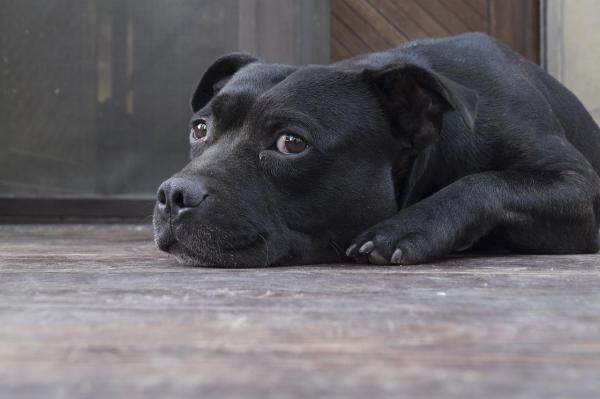 il cane zoppica