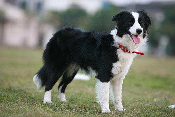 intelligenza dei cani