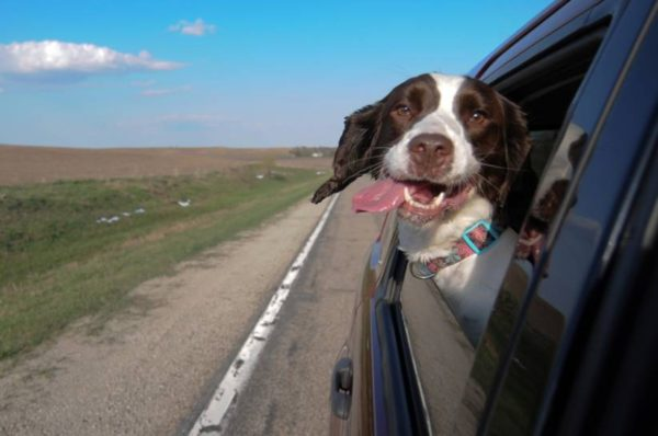 mal d'auto nel cane2