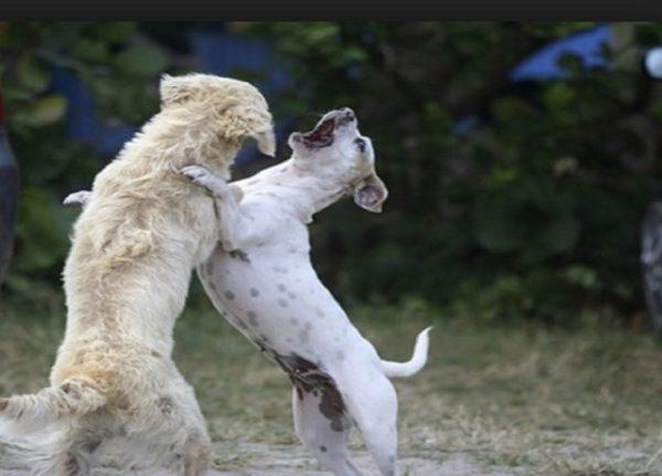 zuffe tra cani