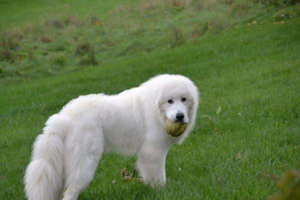 cane da montagna dei pirenei-1