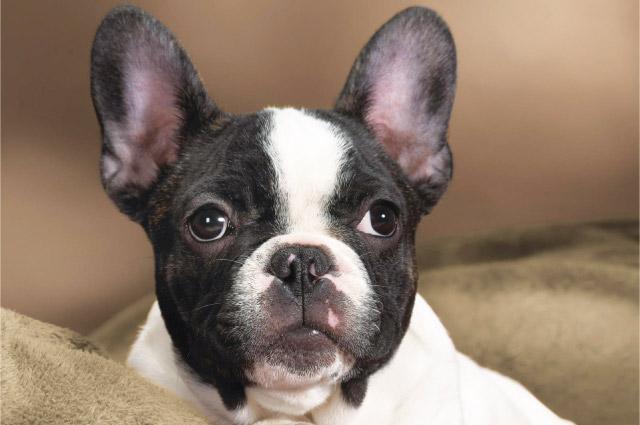 Cane di razza: Bulldog Francese