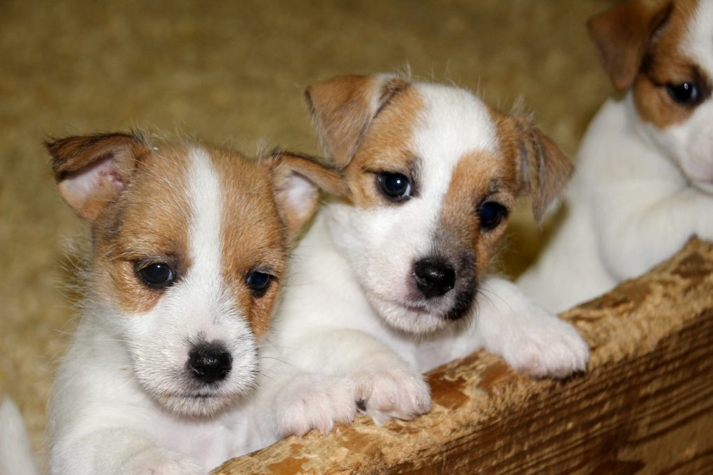 Jack Russell Terrier Carattere Salute E Prezzo