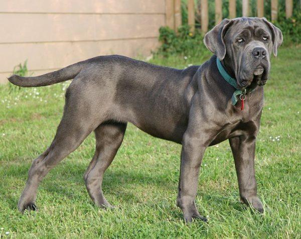 I Migliori Cani Da Guardia Le Quindici Razze Più Indicate
